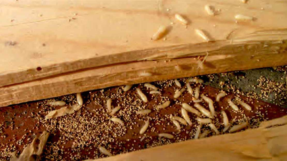 Where termites live inside california homes for Ant infestation in kitchen cabinets