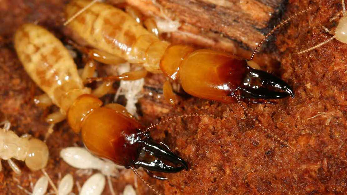 san francisco termite inspection reveals dampwood termites