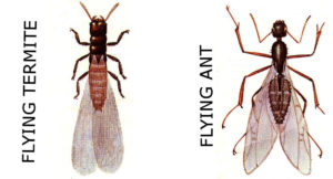 flying termite comparision to flying ant